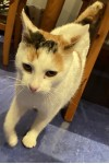 Female cat lost in Corbally