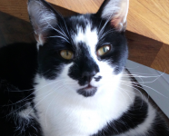 Black & White cat lost in Creggane/Gortroe near Lomabardstown