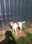 Female Jack Russel found at KerryPike, Cork