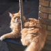 Missing Maine Coon Cat in Maryborough Hill area