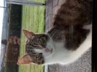 Lost male cat in Killbrittain, Co. Cork
