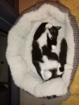 Male black and white kitten lost in Bandon