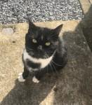 Found black and white male cat Upper Glanmire Cork