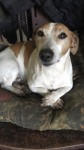 Jack Russell. Male. White with brown patches. Name is Russell . Very friendly. Lost around Rathcormac/Fermoy