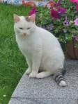 Male white & brown cat