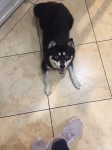 Black Husky mix found on Glasheen Road, Cork