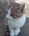 Missing cat – female, tiger type. browny grey. white breast and front and back legs