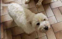 Lost Dog White Westie Glenbeigh  Co. Kerry