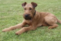 Missing Irish terrier from Blackrock area since this morning