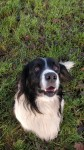Male Springer/Collie Mix missing from Cork City home
