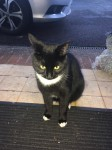 "Female Cat ""Tango"" lost in Douglas Village"