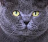 Janesboro Limerick, Grey Cat