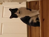 Tuxedo cat lost. Blarney St. area