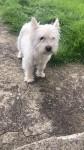 Snowy – West Highland Terrier