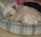 LOST FEMALE WESTIE IN PALLASGREEN CO LIMERICK