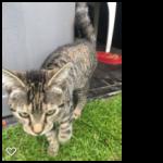 tabby cat found