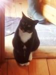Male tuxedo cat West Cork