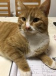 Ginger and white cat lost in County limerick area
