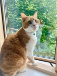 Male Ginger Cat, Lost from Holiday Home in Allihies