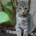 Male tabby kitten w/ gold collar lost in Gurranabraher