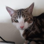 Young male tabby cat